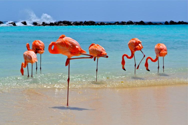 Flamingo's on beach in Aruba