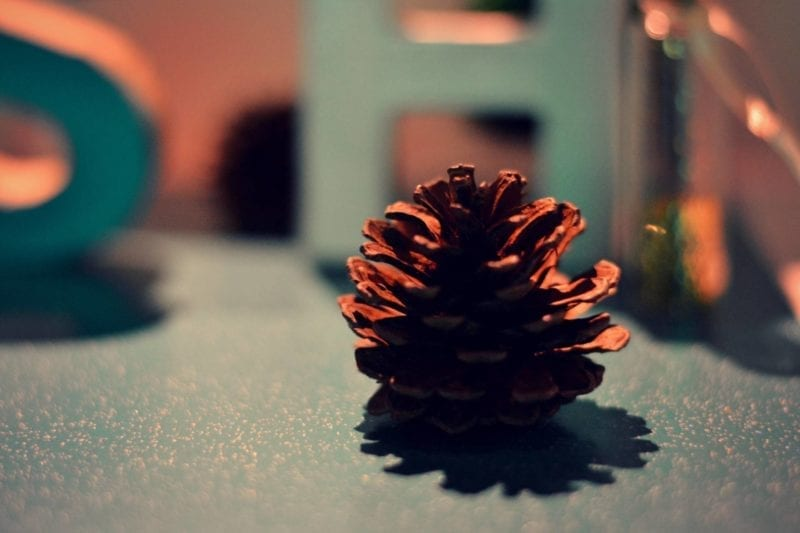 Pine cone photography