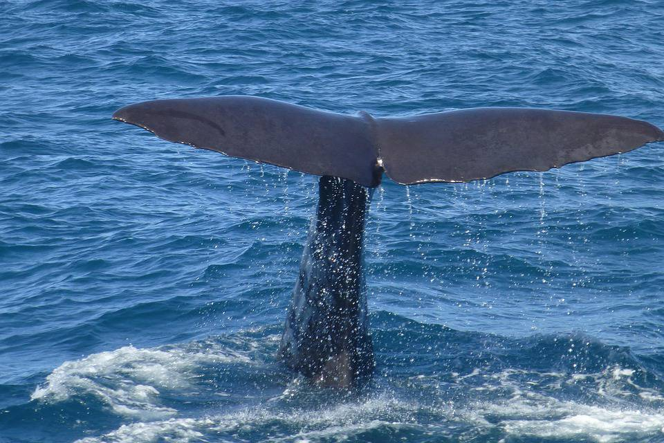 spem whale
